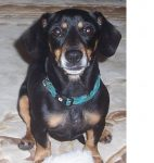 Pickle the rescue dachshund from Kansas Human Society
